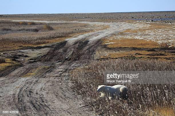 A polar on arctic tundra