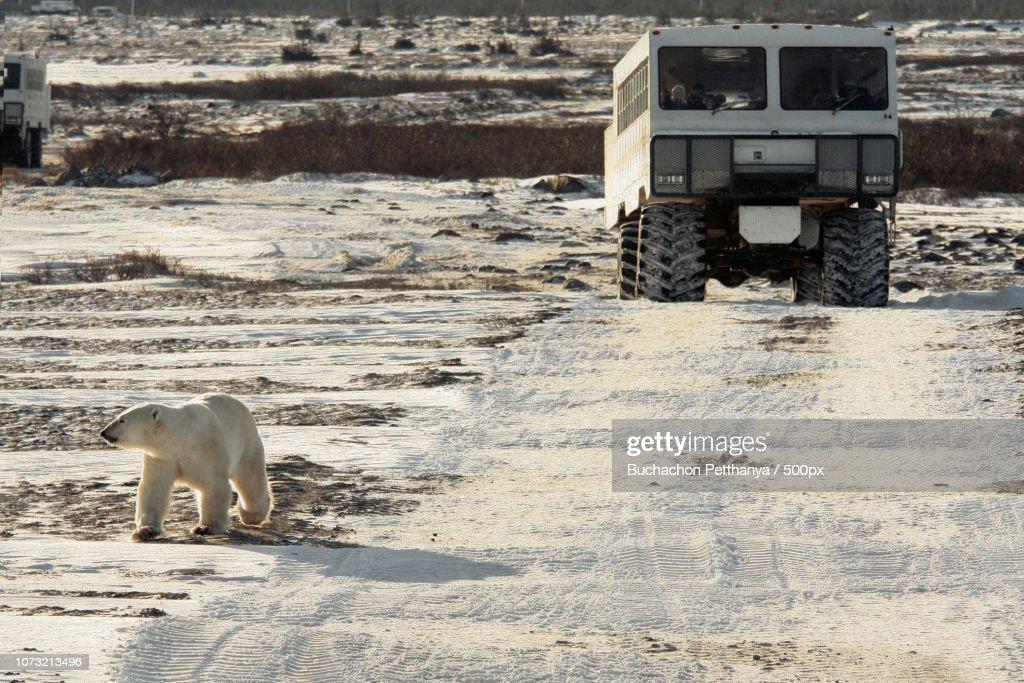 polar walking : Stock Photo