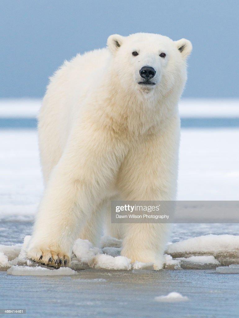 Polar_bear_6 : Stock Photo