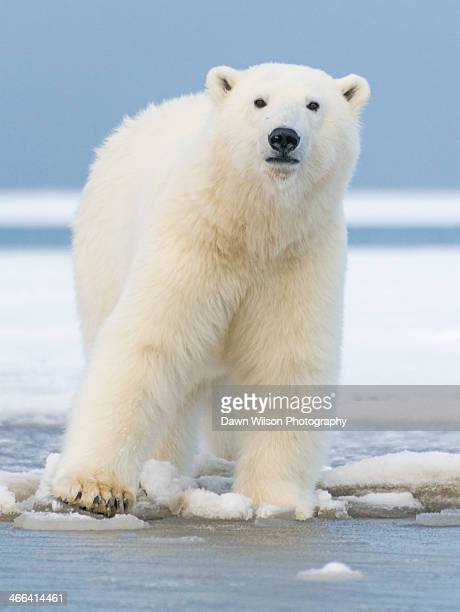 polar_bear_6 - polar bear stock pictures, royalty-free photos & images