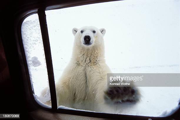 polarbear (ursus maritimus) at car window, churchill, canada - polarklima stock-fotos und bilder