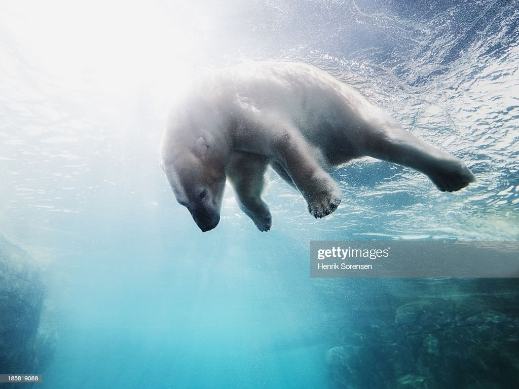Polarbear in water : Stock Photo