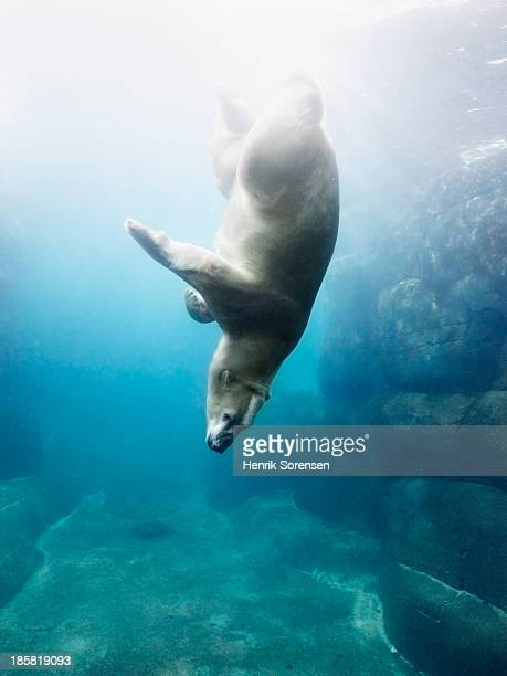 Polarbear in water