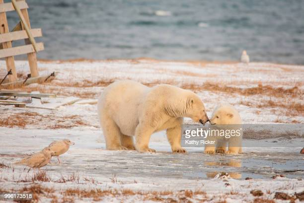 polarbearsalaska - pack ice stock pictures, royalty-free photos & images