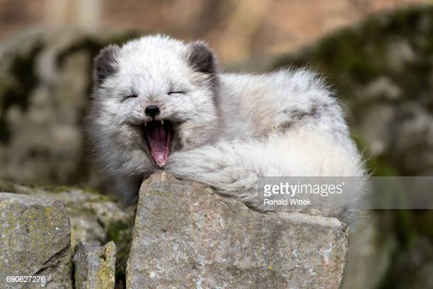 Polarfuchs, Arctic Fox