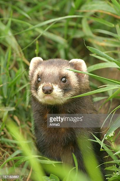Polecat with a mask like face across the eyes in forest