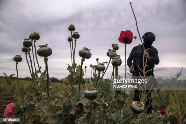 Police agent confiscates illegal poppy flowers during an operation at Los Pericos village, Mocorito municipality in Sinaloa state, Mexico on March...
