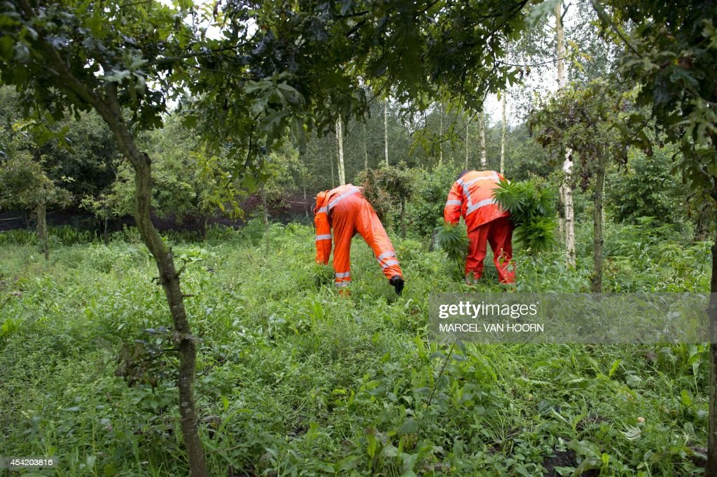 Police and members of a specialized company clears up a weed plantation with 18,000 plants that has been found in a forest, near the German border, in Reuver, The Netherlands, on August 26, 2014. The street value of 18,000 plants fluctuates around 20 million euros.