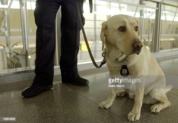 Police canine Labrador Catherine demonstrates is ready during a demonstrate of how canine teams will assist the Transportation Security...