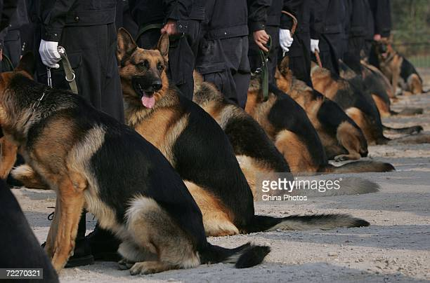 Police canines wait with their trainers at a police dog training base October 26 2006 in Beijing China Police sources said the dogs for the Olympic...