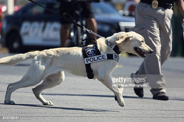 police dog is running - police dog stock photos and pictures