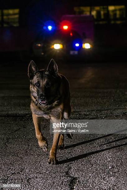 police dog running on road at night - police dog stock photos and pictures