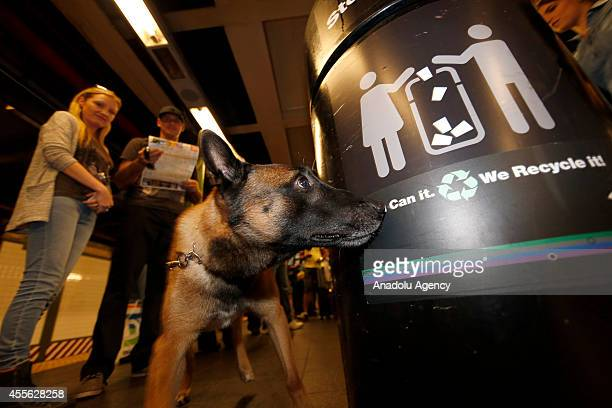 K9 police dog searching for bombs in a trash bin in metro station New York United States on 17 September 2014 Security measures tightened on critical...
