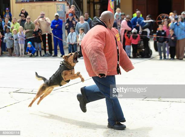 police dog unit training - animals attacking stock pictures, royalty-free photos & images