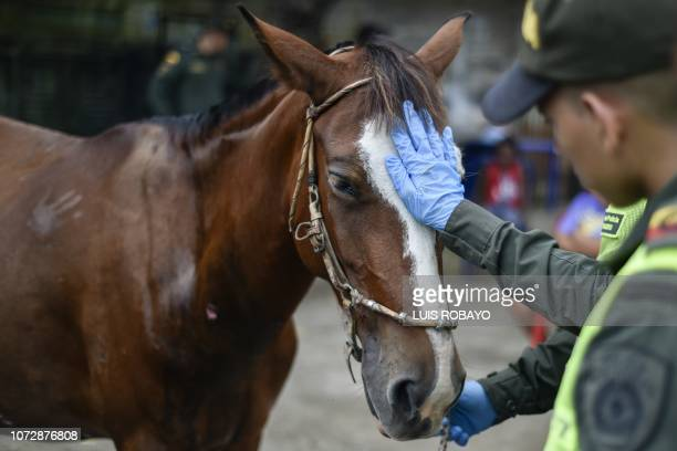 Police officers caress Dominga a pregnant mare who received a stray bullet during clashes between criminal gangs before she undergoes surgery at...