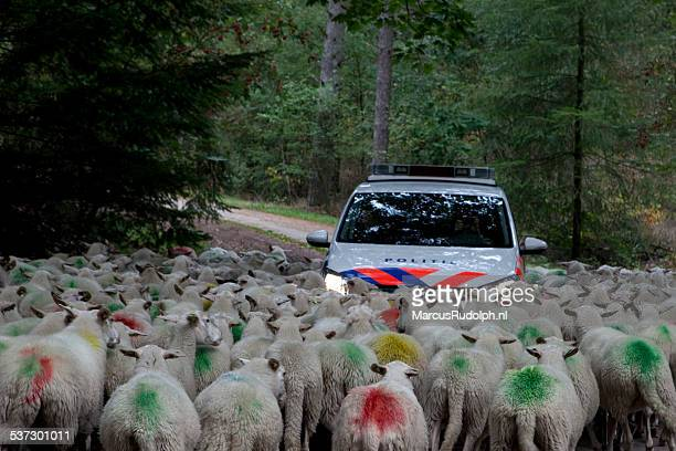 Police trapped by sheep