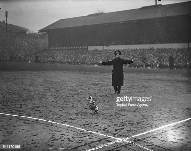 A policeman chasing a goose that a fan had let loose on the pitch at Molineux during the Fourth Round FA Cup tie between Wolverhampton Wanderers and...