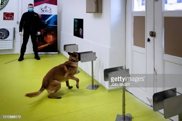 Policeman teaches his dog to find a piece of fabric that was infected with the COVID-19 bacteria during a training session, on May 13 in...