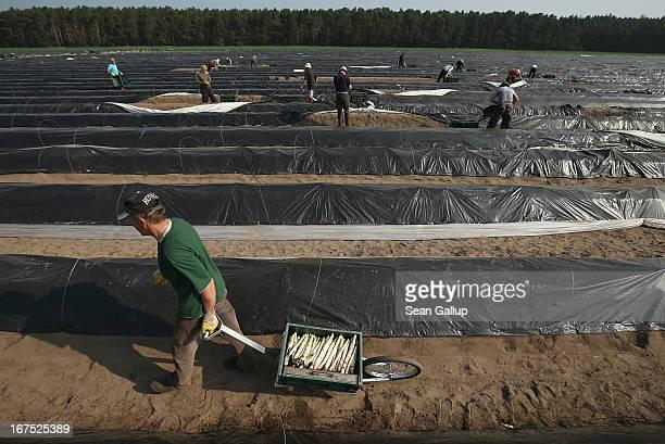 Polish migrant workers harvest white asparagus from an asparagus field at the Buschmann und Winkelmann Spargelhof Klaistow asparagus farm on April 26...