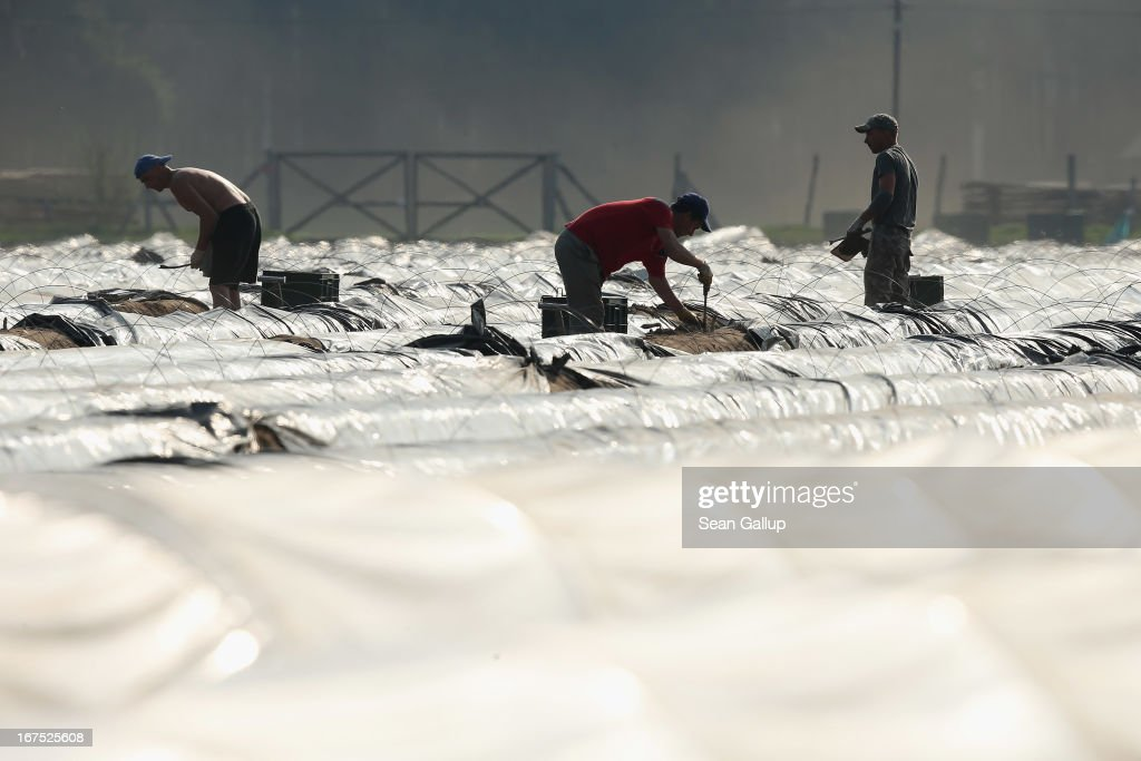 Polish migrant workers harvest white asparagus from an asparagus field at the Buschmann und Winkelmann Spargelhof Klaistow asparagus farm on April 26, 2013 near Klaistow, Germany. White asparagus, which is grown under black sheeting to protect it from the sun in order to maintain the white color, is a national delicacy and one of the main agricultural products of the local Beelitz region.