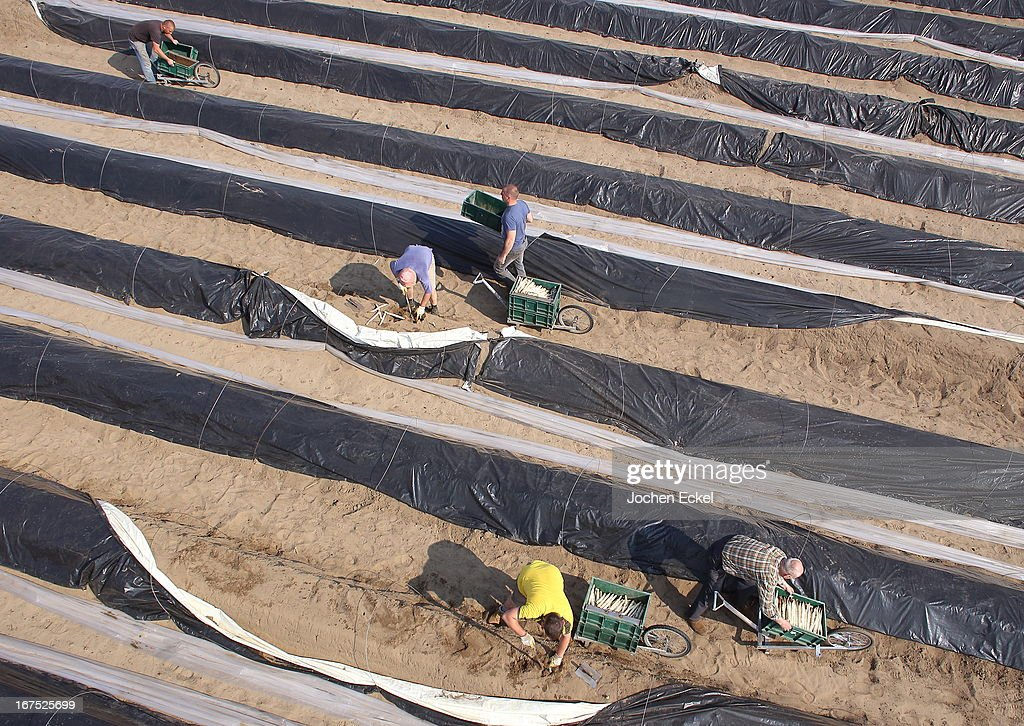 . Polish migrant workers harvest white asparagus from an asparagus field at the Buschmann und Winkelmann Spargelhof Klaistow asparagus farm on April 26, 2013 near Klaistow, Germany. White asparagus, which is grown under black sheeting to protect it from the sun in order to maintain the white color, is a national delicacy and one of the main agricultural products of the local Beelitz region.