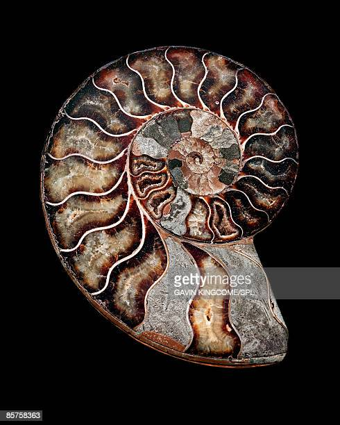 polished sectioned ammonite fossil - ammonite stock photos and pictures