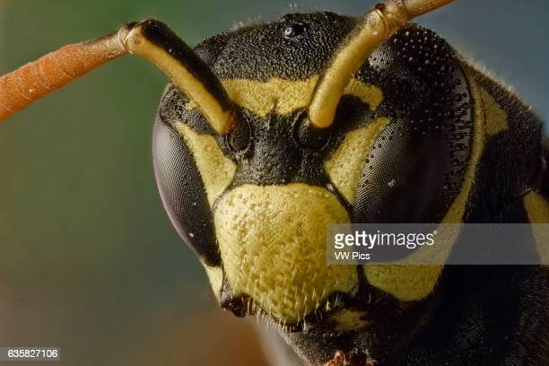 Polistes dominula or european paper wasp considered an invaise species in USA and Canada Take sits name from the material used for its nests