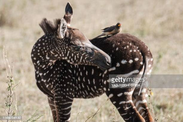 Polkadot zebra foal is seen in the Masai Mara game reserve in Kenya on September 19 2019 Antony Tira a Maasai guide who first spotted the foal named...