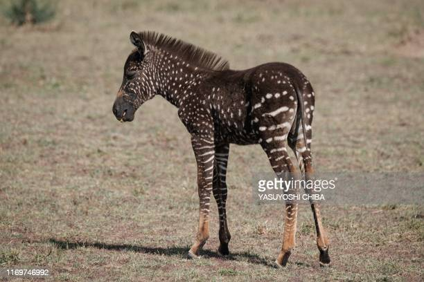 A polkadot zebra foal is seen in the Masai Mara game reserve in Kenya on September 19 2019 Antony Tira a Maasai guide who first spotted the foal...