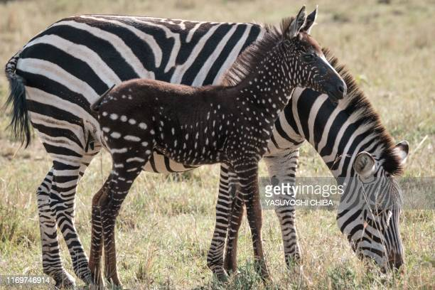 Polka-dotted zebra foal stand close to its mother at the Masai Mara game reserve in Kenya on September 19, 2019. - Antony Tira, a Maasai guide who...