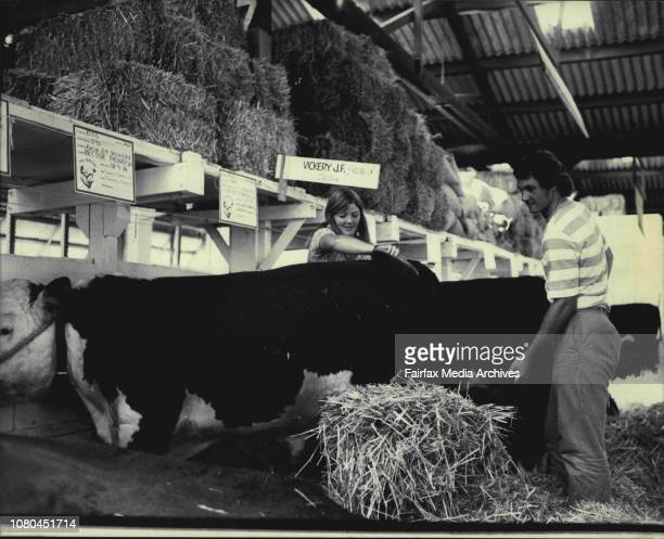 Poll Hereford Bective Monash exhibited by J F Vickery of Tamworth has its stall cleaned by Miss Kim Urwin and Brad Palmere both students from the...