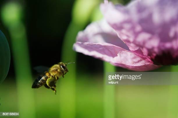 花粉バスケット ミツバチ