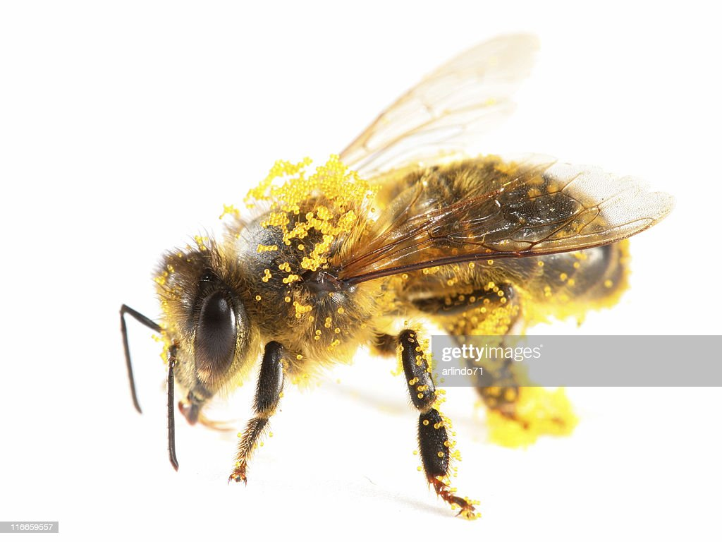 Pollen covered honeybee : Stock Photo