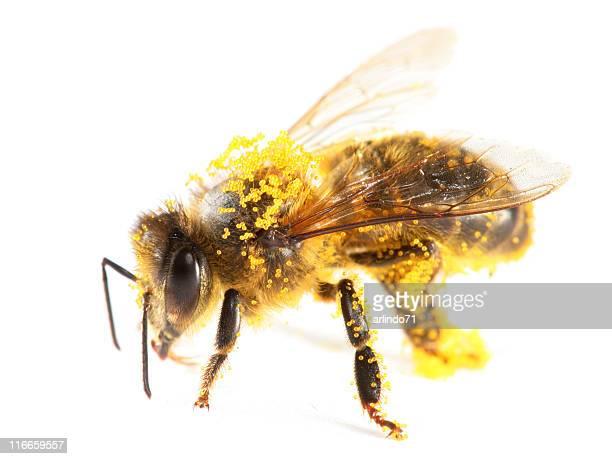 花粉カバー honeybee - 花粉 ストックフォトと画像