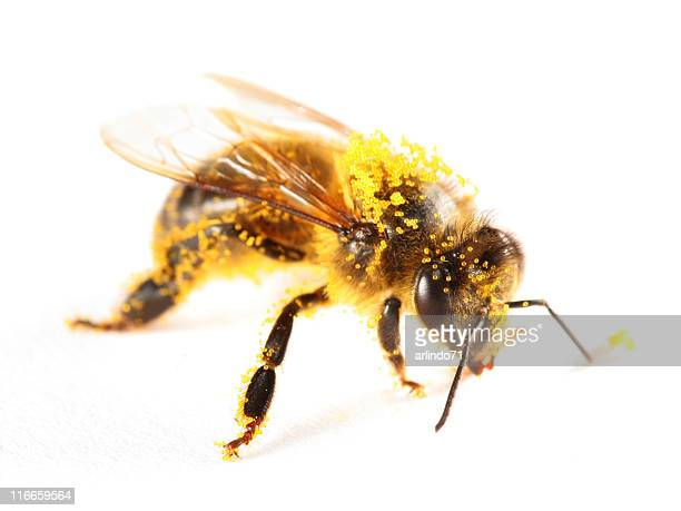 Pollen covered honeybee