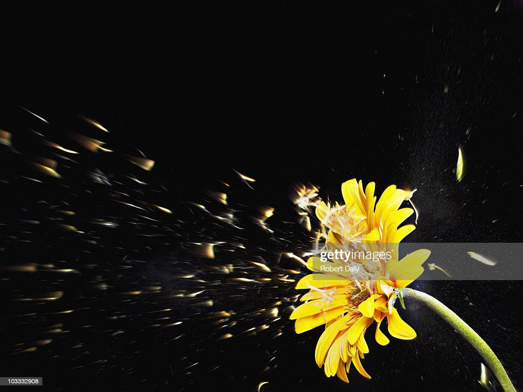 Pollen flying from yellow gerbera daisy : Stock Photo