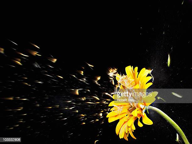 Pollen flying from yellow gerbera daisy