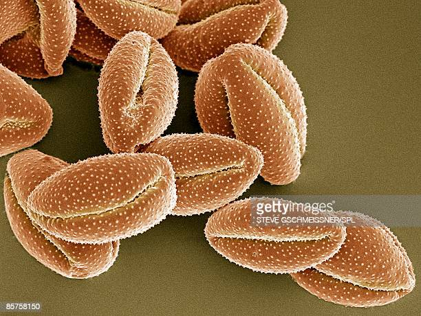 Pollen grain, scanning electron micrograph (SEM)