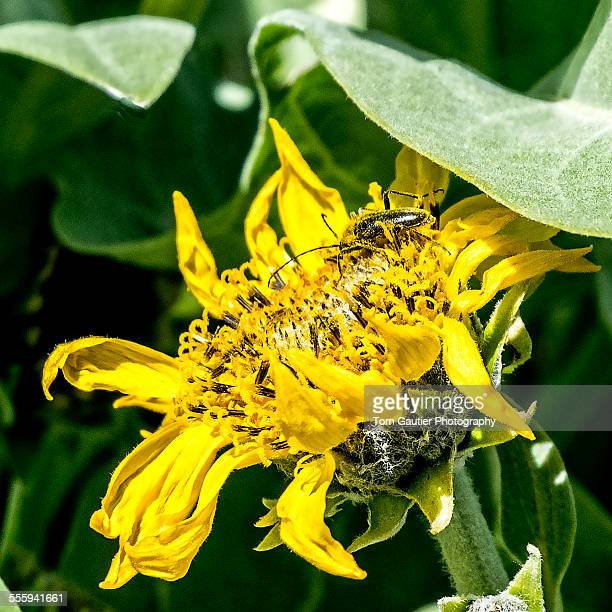 A pollen-covered beetle on an arrowroot blossom