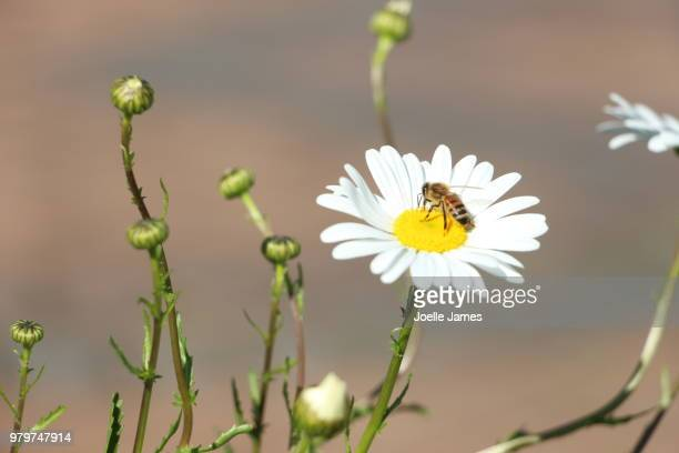 pollinating - joelle james stock pictures, royalty-free photos & images