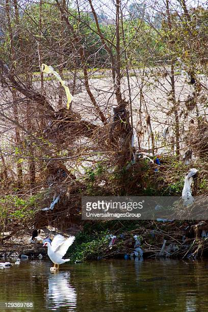 Pollution in the Los Angeles River, USA. Waterfowl and plastic bags left from runoff from recent rains, Glendale Narrows. Stop on Folar's tour of the...