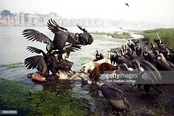 Pollution in the River Ganges at the Hindu Holy City of Varanasi Picture shows vultures and wild dogs attacking the corpse of a dead cow