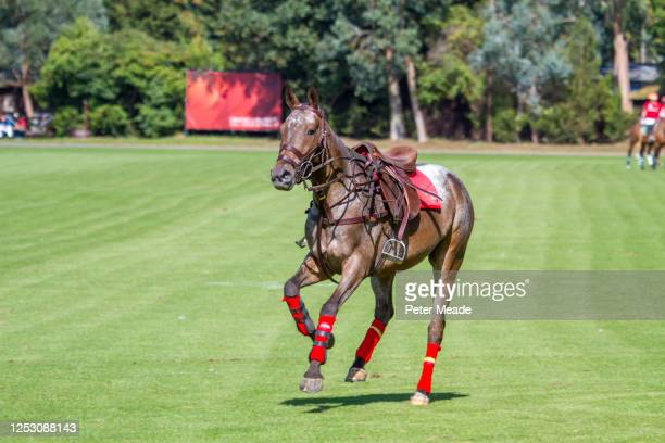 polo pony returning to the pony lines after unseating its rider - polo stock pictures, royalty-free photos & images