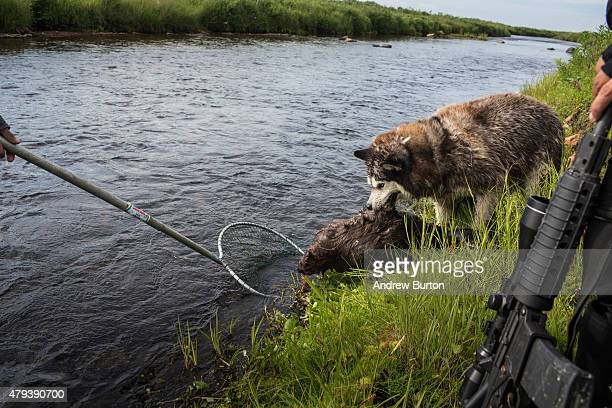 Polo the dog eats a freshly killed beaver during a hunting expedition on Nelson Island on July 2 2015 near Newtok Alaska Newtok has a population of...