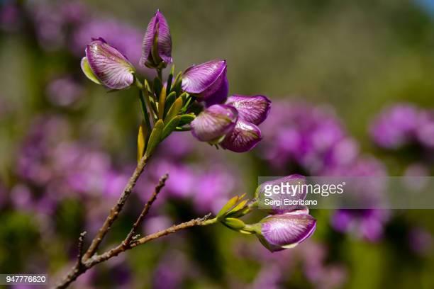 Polygala myrtifolia flowers