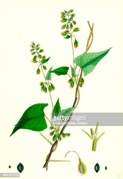 Polygonum dumetorum Copse Buckwheat