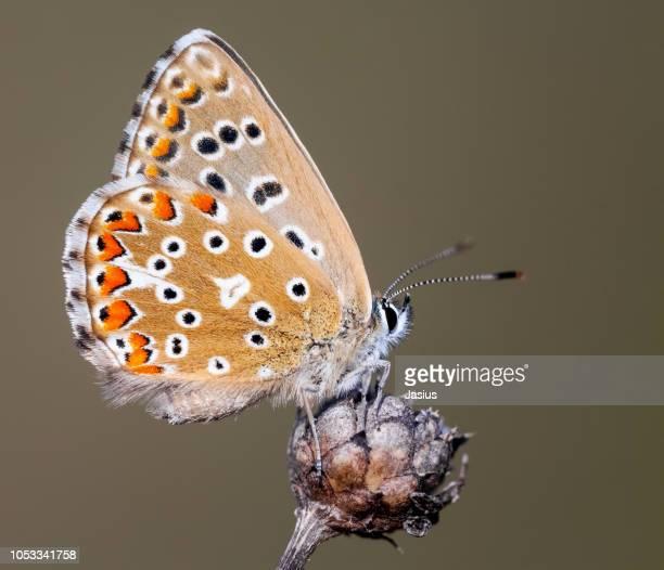 Polyommatus bellargus – Adonis blue butterfly