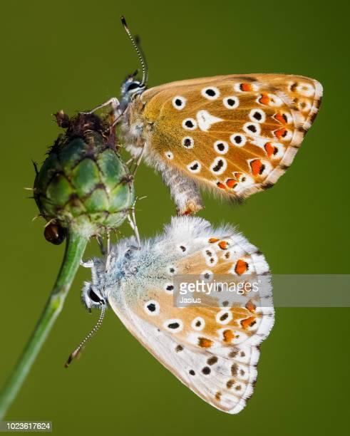 Polyommatus coridon – Chalkhill blue butterfly couple