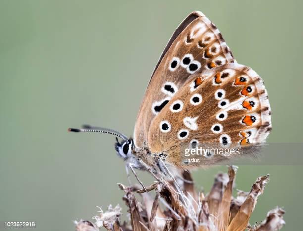Polyommatus coridon – Chalkhill blue butterfly