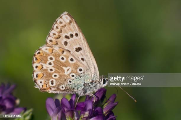 Polyommatus Coridon Chalkhill Blue
